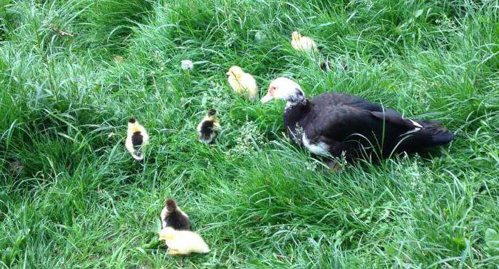 Основы инкубации утиных яиц для новичков