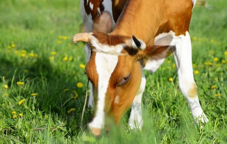 Статьи о кормление крс на korovainfo.ru | содержание и кормление сухостойных коров