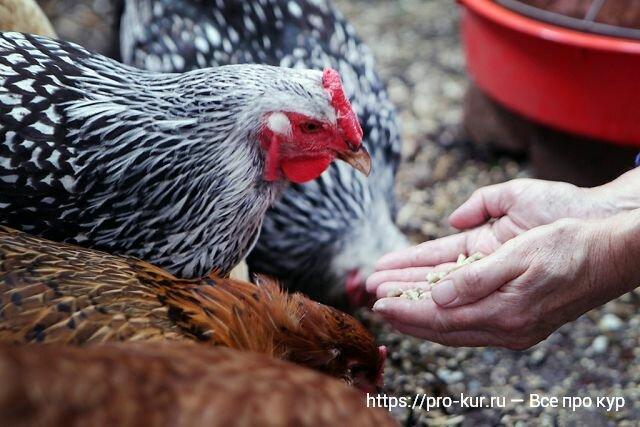 О сальмонеллезе у кур: симптомы и признаки заболевания, чем лечить, профилактика