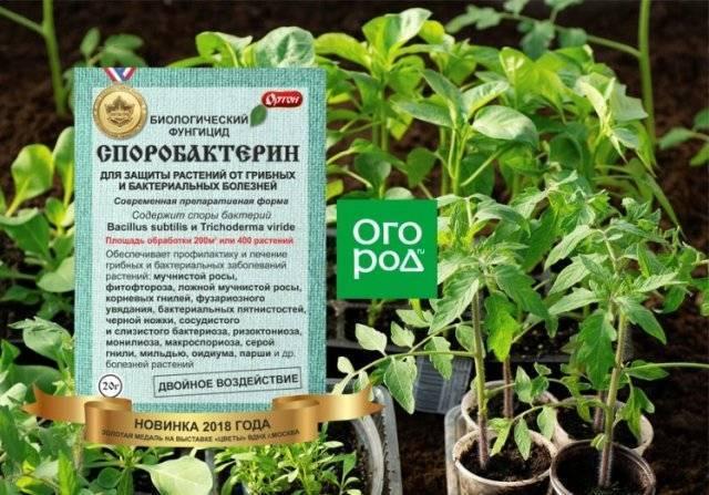 Почему возникает «черная ножка» на рассаде помидоров? чем полить и как спасти растения?