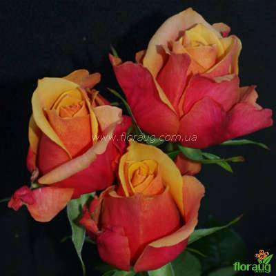 Кустовая роза черри бренди. особенности цветка, правила ухода и выращивания