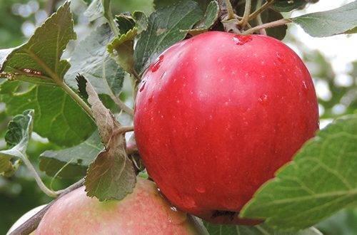 Пепин шафранный яблоня