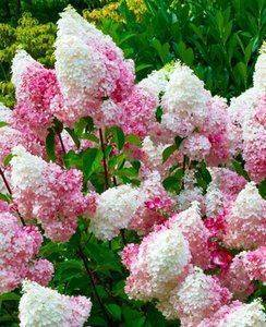 Гортензия ванилла фрейз — посадка цветка в открытом грунте, черенкование