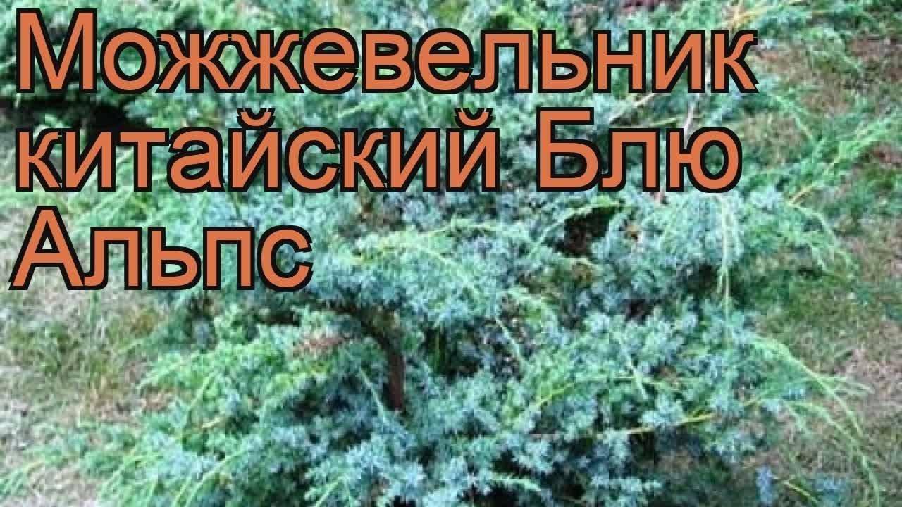 Можжевельник «блю альпс» (28 фото): описание китайского можжевельника, посадка и уход, обрезка, примеры в ландшафтном дизайне
