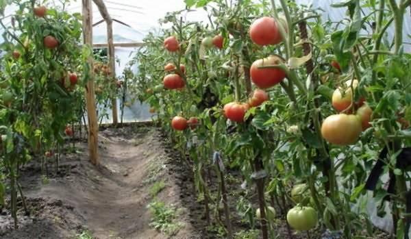 Как вырастить помидоры без рассады: в открытом грунте и теплице