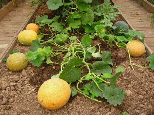 Чем подкормить рассаду арбузов чтобы были толстенькие. подкормка арбуза на разных этапах развития органическими и минеральными удобрениями
