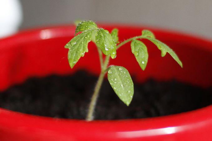 Рассада помидор от а до я: как сажать и выращивать в домашних условиях? пошаговая инструкция