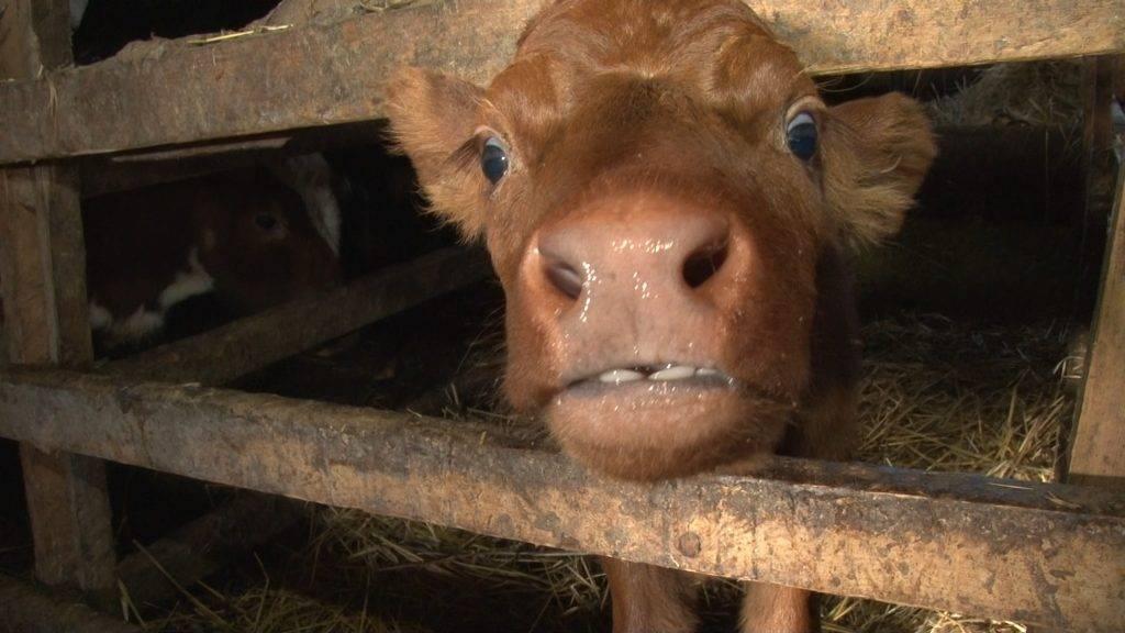 Лейкоз у коров: причины, симптомы и лечение, опасность для человека