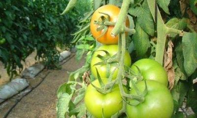 Фосфорные удобрения для томатов: инструкция по применению подкормок для рассады помидоров, рекомендации как развести и использовать их совместно с калийными