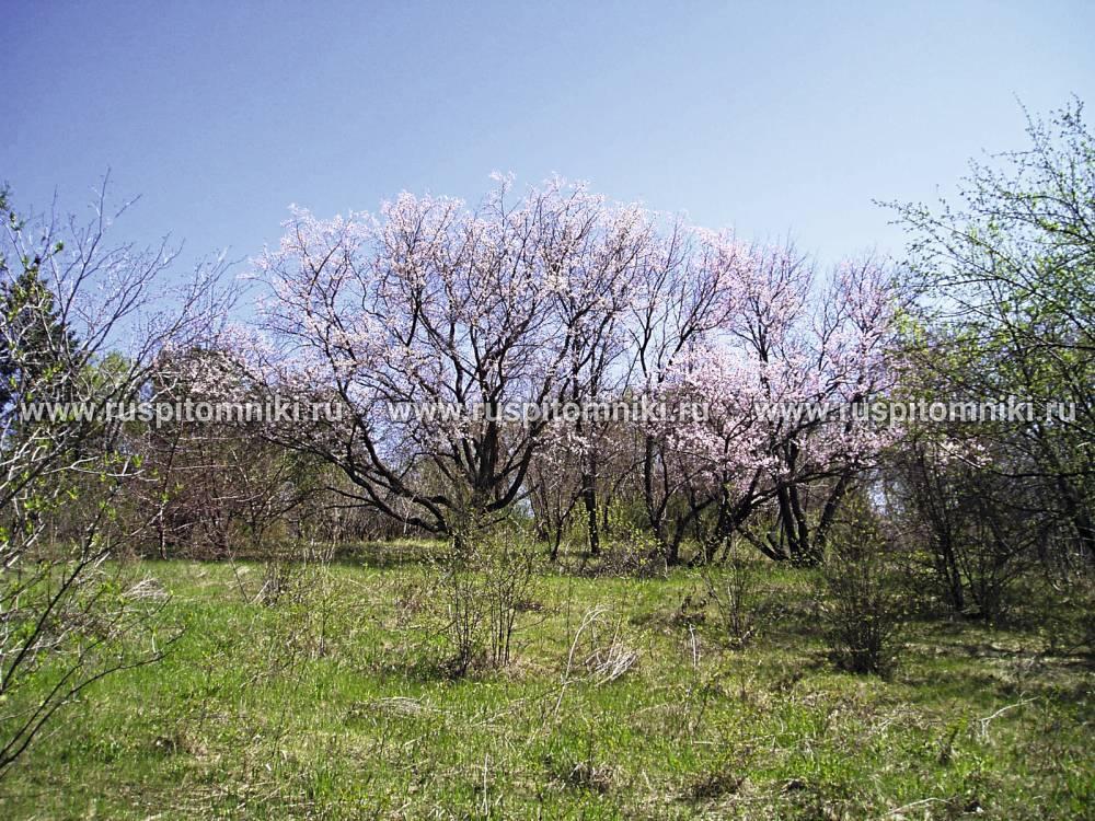 Armeniaca mandshurica (maxim.) skvortsov описание таксона