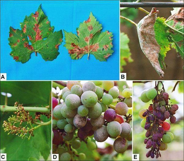 Оидиум винограда – лечение, профилактика, фото