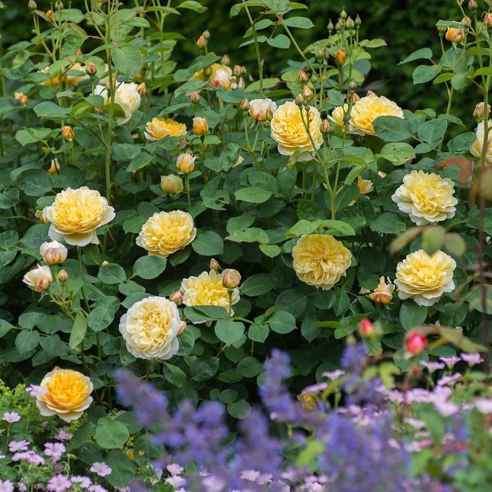 О розе шарлотта (charlotte): описание и характеристики сорта роз остина