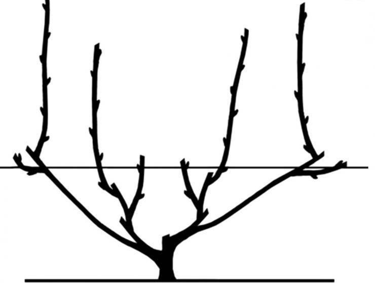 Веерное формирование куста винограда схема