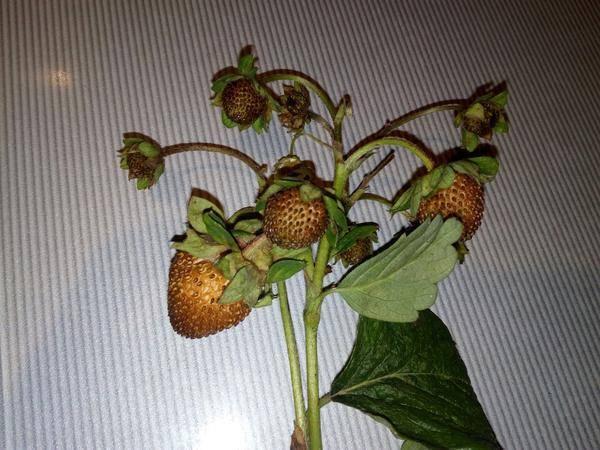 Почему клубника сохнет вместе с ягодами. почему сохнут ягоды клубники на кусте