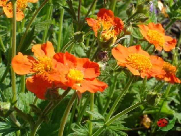 О цветке гравилате чилийском: как выглядит, посадка и уход, выращивание
