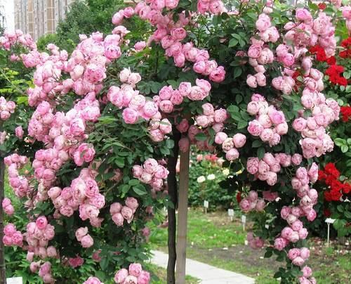 Руководство по посадке и уходе за плетистыми розами в открытом грунте – инструкция для новичков