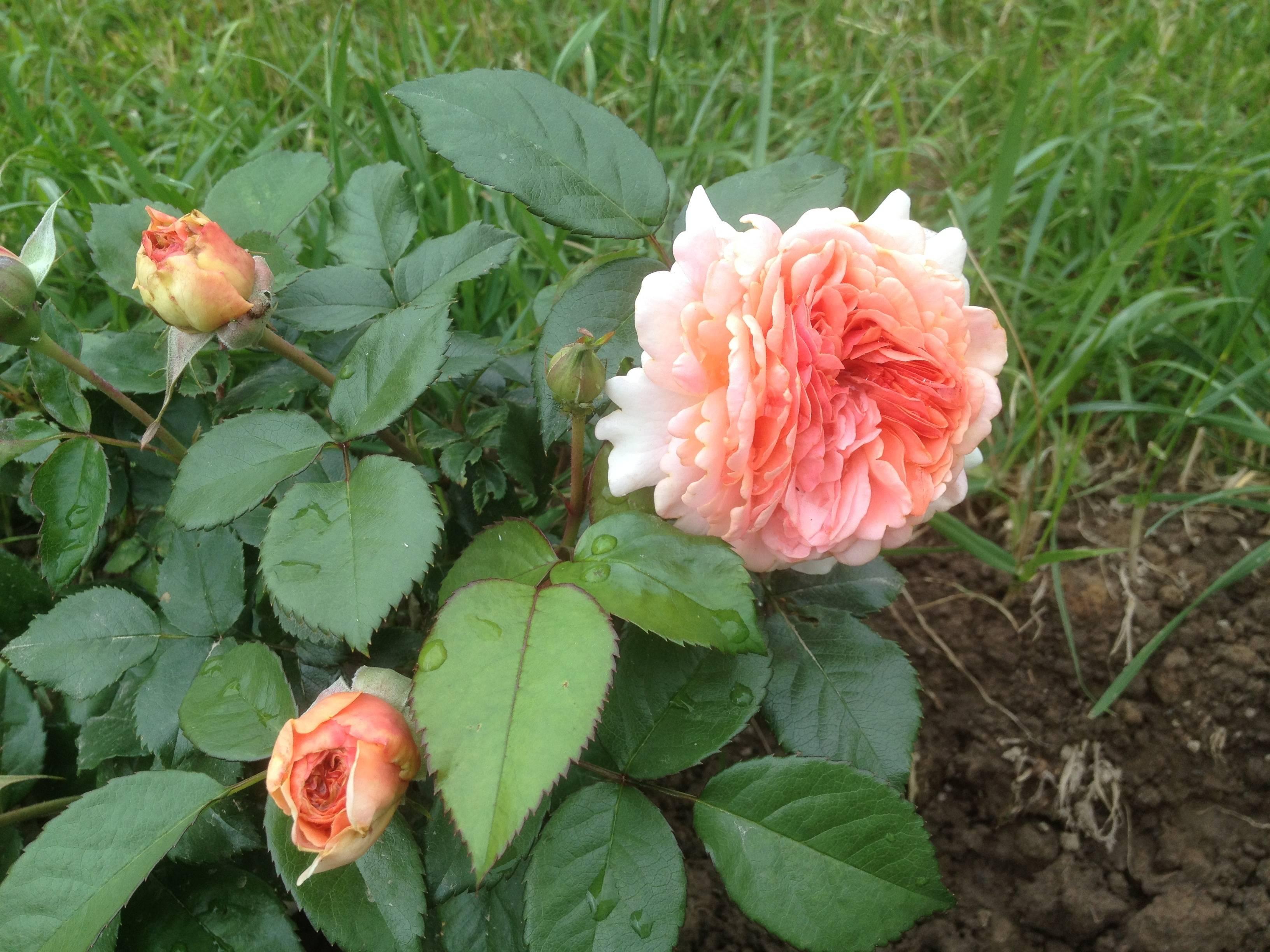 Эффектная роза чиппендейл в дизайне сада: руководство по выращиванию