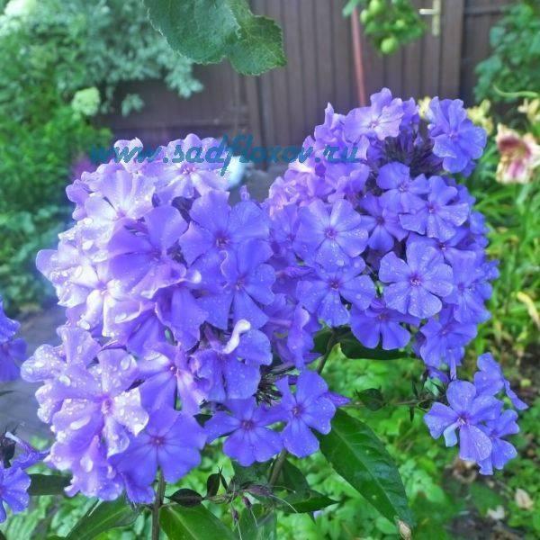 Все о метельчатом флоксе сорта блю парадайз: подробное описание растения