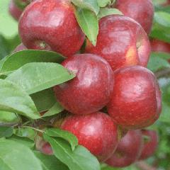 Осенние сорта яблонь для средней полосы россии (поволжья): лучшие виды с названием, описанием и фото, как правильно выбрать, особенности и общие правила ухода