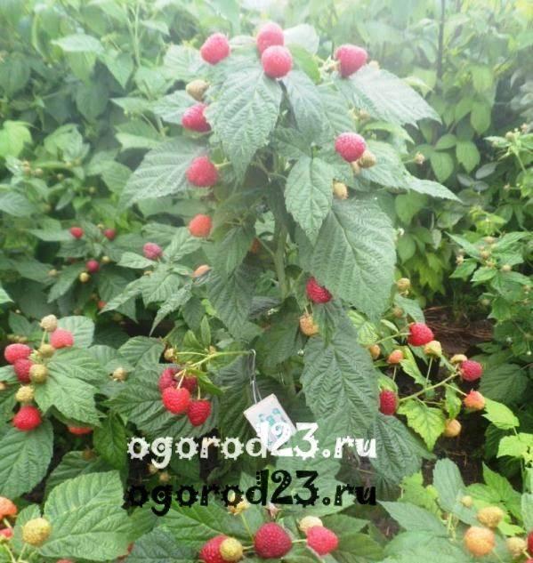 Малиновое дерево: посадка, уход, размножение и фото