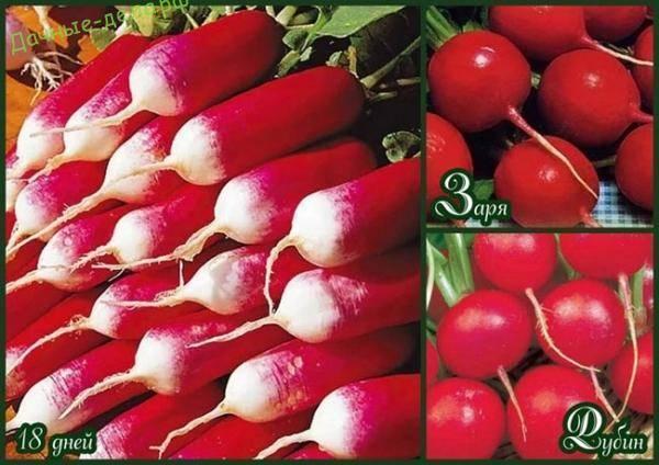 Все о лучших сортах редиса для посадки в открытый грунт: какие семена подходят