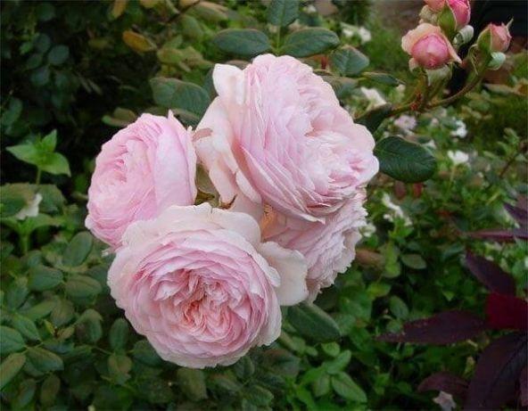 Китайская чайная роза