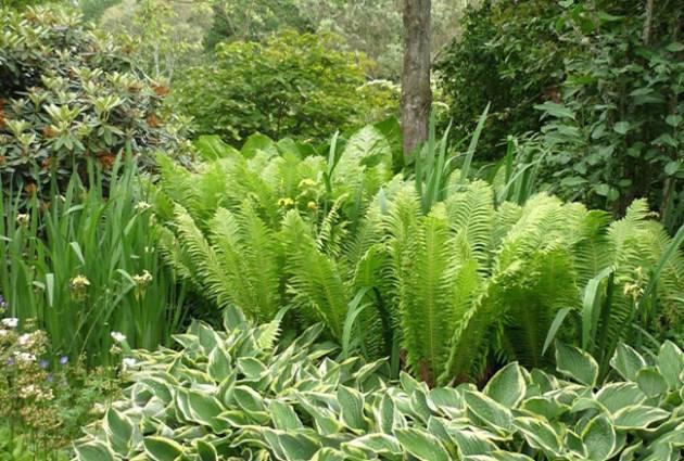 Особенности ухода, размножения и строения садового папоротника - садовые цветы, растения и кустарники - 2020