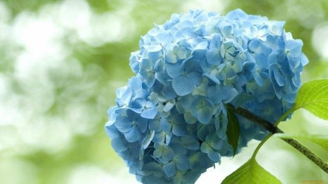 Как сделать гортензию голубой? что делать для изменения цвета в голубой? чем полить гортензию? используем народные средства
