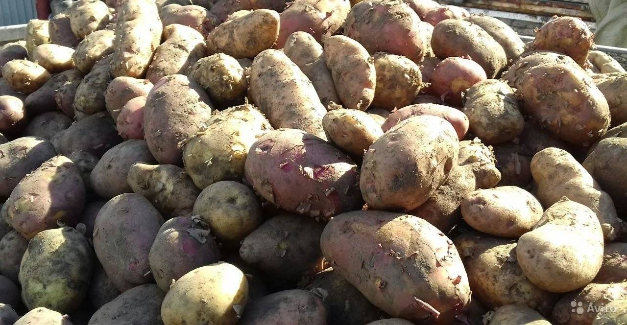 """Картофель """"повелитель просторов"""": описание сорта, характеристики корнеплодов, рекомендации по уходу и фото-материалы"""