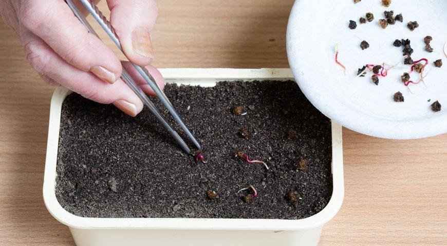 Когда сажать свеклу: в какое время можно сеять, важны ли сроки возделывания семян в открытом грунте, как обеспечить правильное выращивание овоща и хороший урожай?