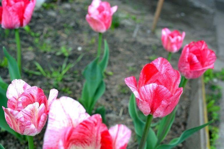 Можно ли сажать тюльпаны весной и когда высаживать их в грунт?