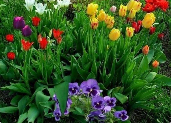 Уход за тюльпанами после цветения - правила хранения и выкопки луковиц