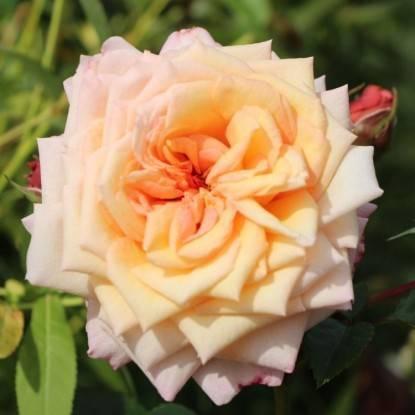 О сортах розы рококо (lemon, lovely, magic, playful): описание и характеристики
