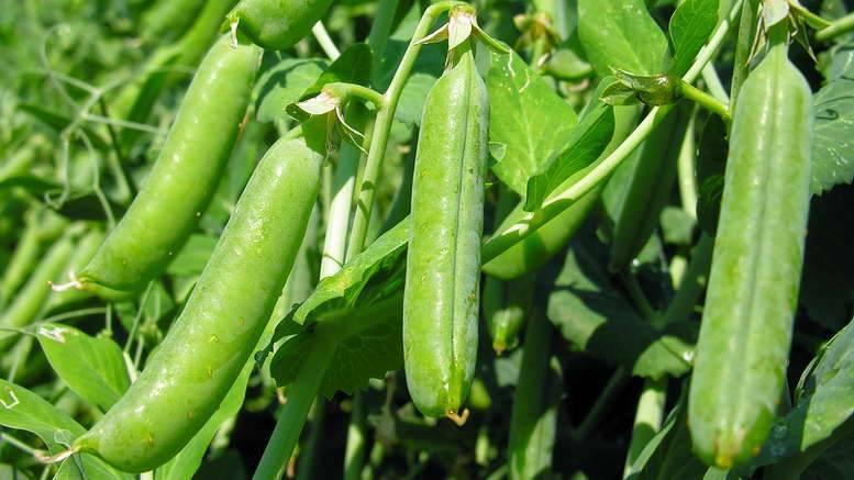 Нужно ли и как замочить семена гороха перед посадкой
