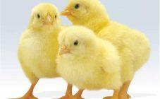 Почему дохнут цыплята