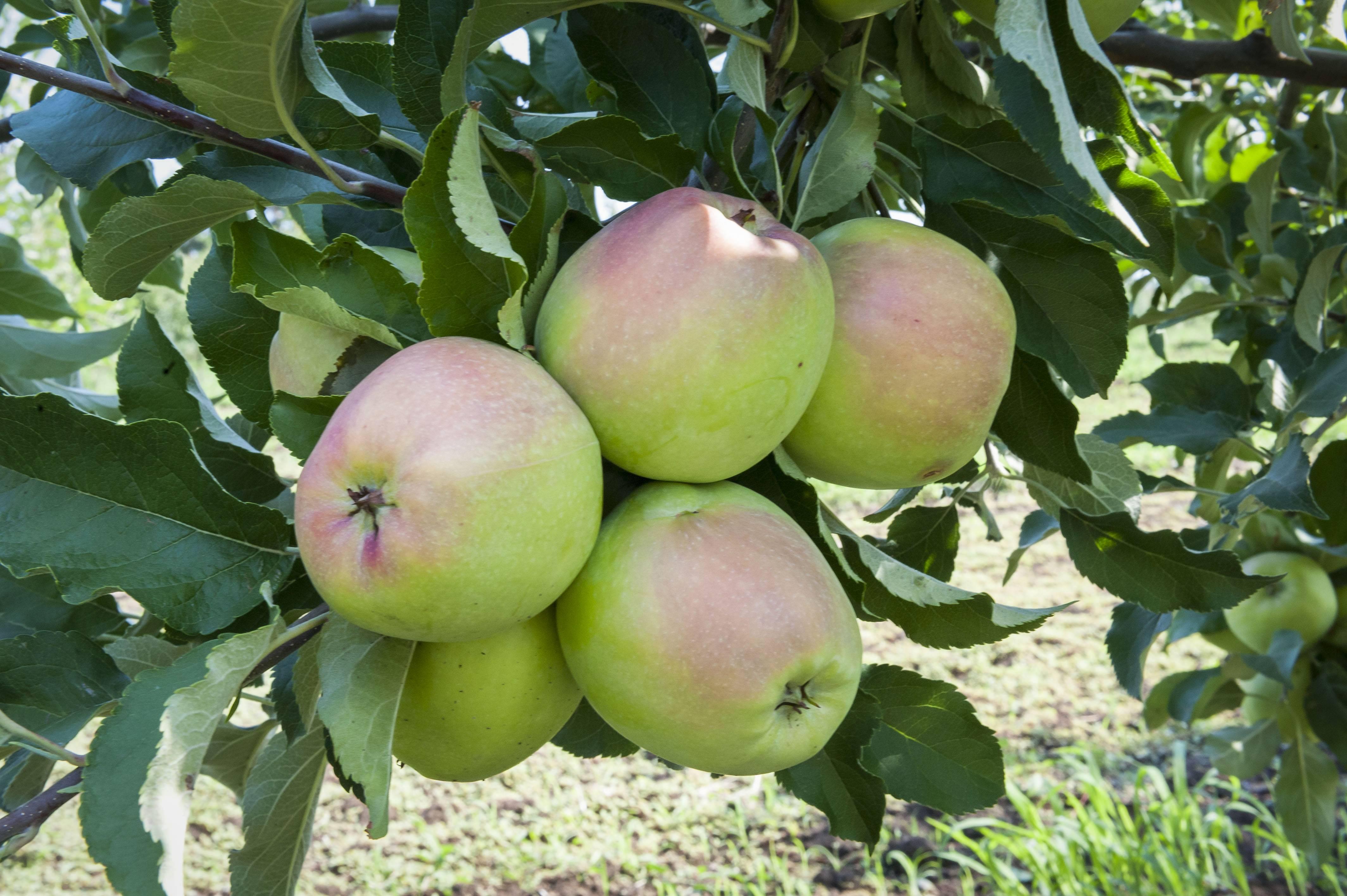 Выращивание яблони лигол