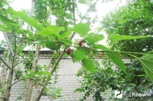 Особенности выращивания и ухода за шелковицей в средней полосе