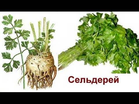 Сельдерей – выращивание и уход