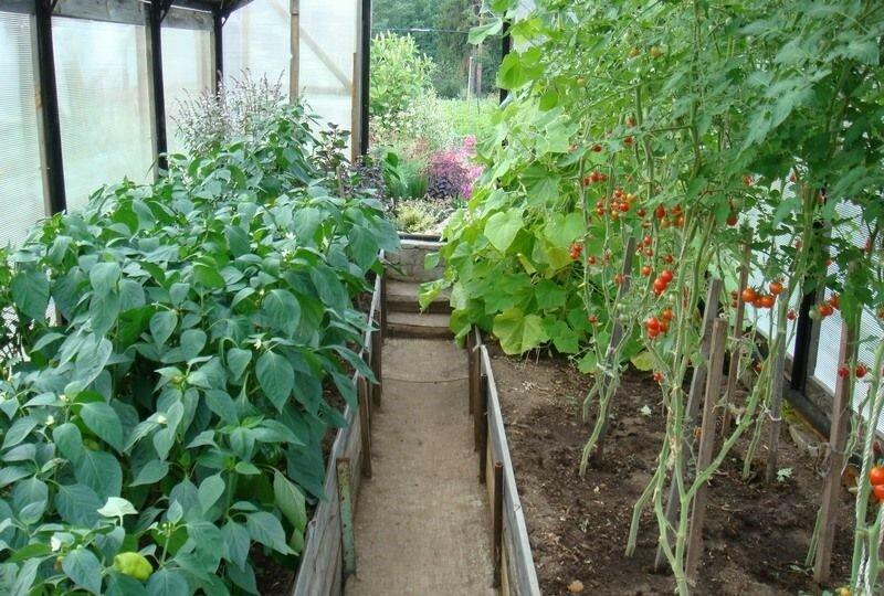 Как выращивать и ухаживать за помидорами в теплице