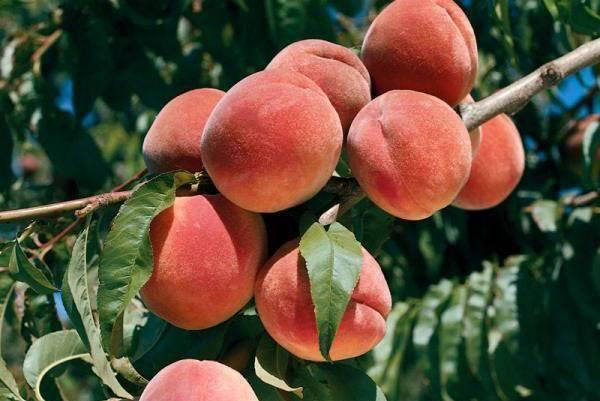 Болезни и вредители персика и методы борьбы с ними