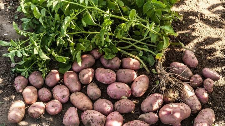 Лучшие сорта картошки для подмосковья