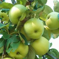 Яблоня феникс алтайский: описание сорта и его фото, особенности выращивания и основные характеристики