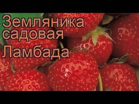 Клубника сорт альбион: урожай с весны до осени