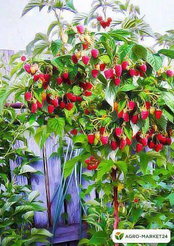 Малина сорта таруса: чудо-растение, любящее солнце