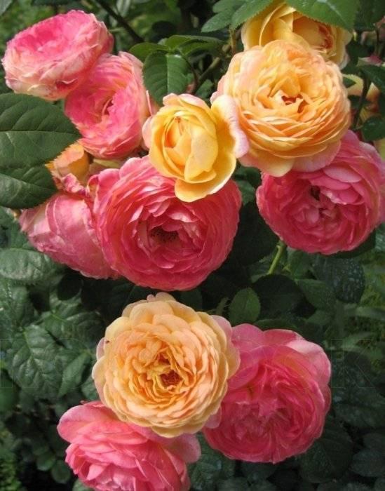 Как спасти розы, почерневшие после зимы?