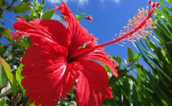 Гибискус болотный: описание и фото растения, болезни и вредители, особенности ухода, похожие цветы