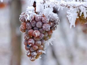 Как спасти виноградную лозу в бесснежную зиму