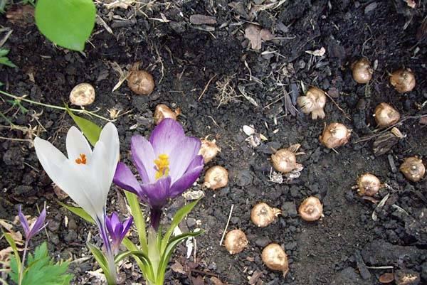 Посадка и уход за крокусами (37 фото): как сажать осенью? как вырастить шафран в открытом грунте? как посадить цветок дома? когда высаживать луковицы на даче?