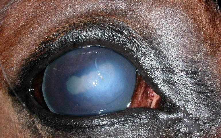 Зрение лошади — википедия. что такое зрение лошади