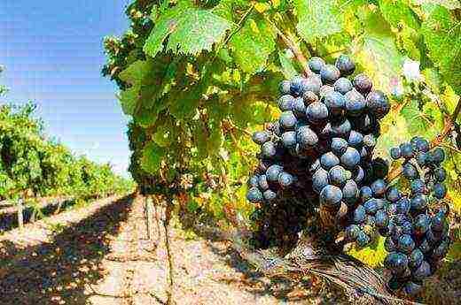 Обрезка винограда осенью на урале. посадка винограда на урале